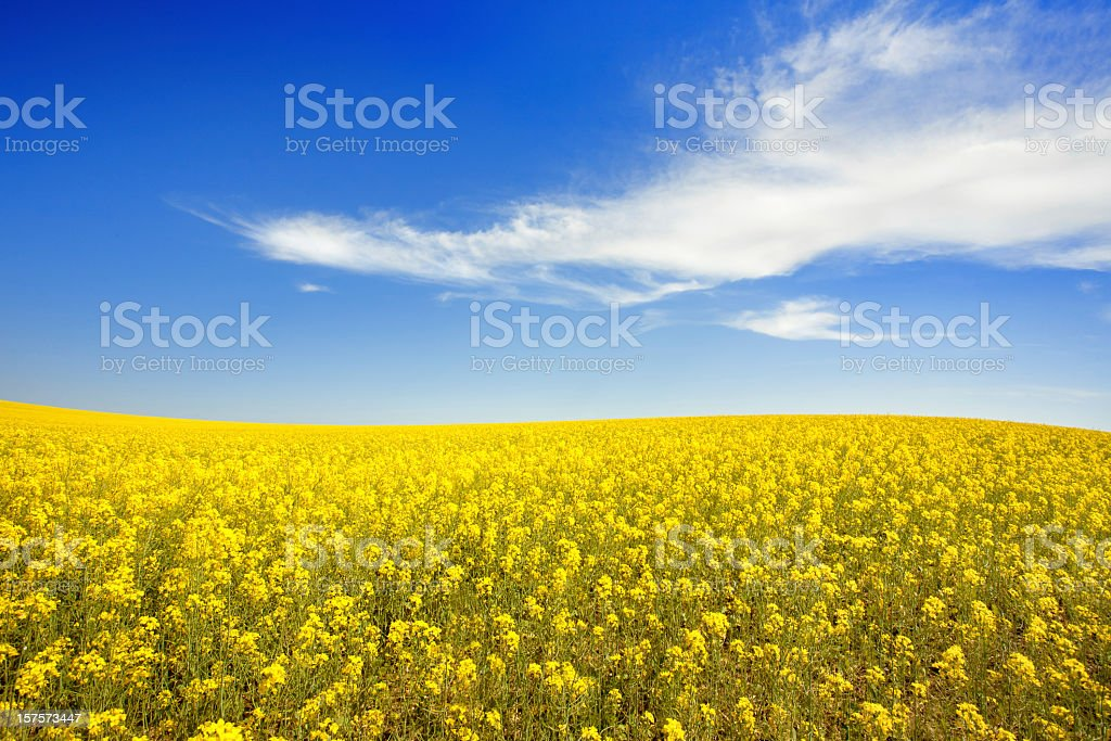Yellow field and sky stock photo