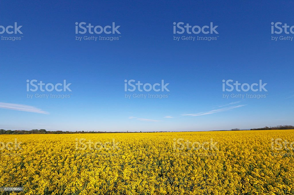Yellow field, blue sky stock photo