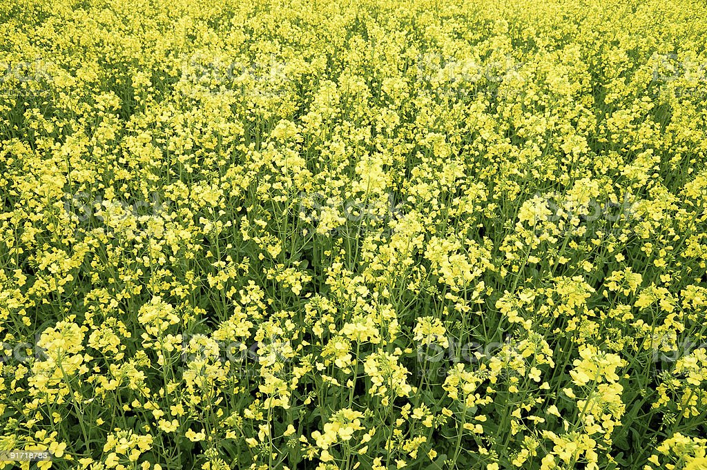 yellow field in bloom royalty-free stock photo