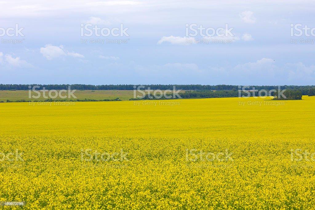 Yellow field of rape stock photo