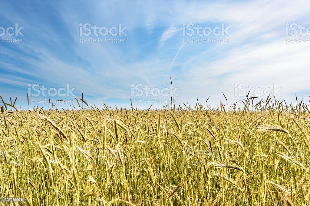 Yellow field of rye stock photo
