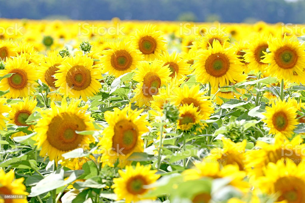 Yellow field of sunflowers, stock photo