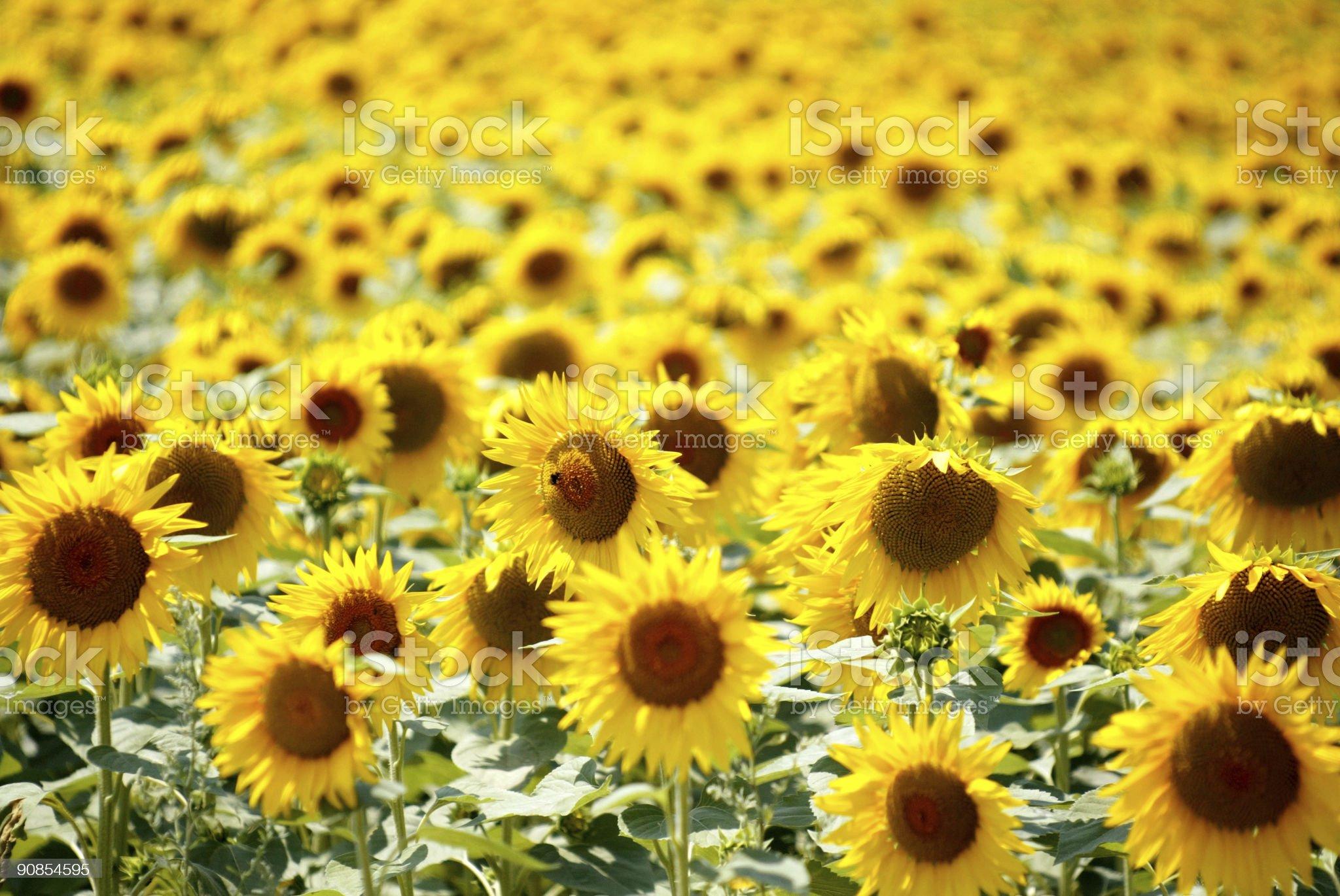 yellow field of sunflowers royalty-free stock photo