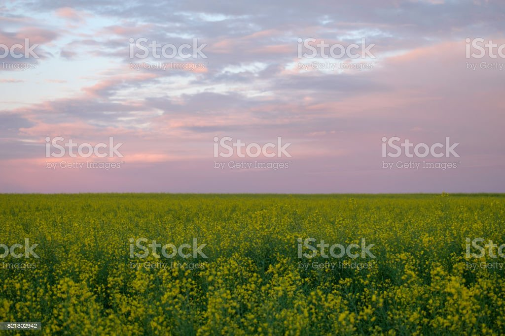 Yellow field on sunset sky background stock photo