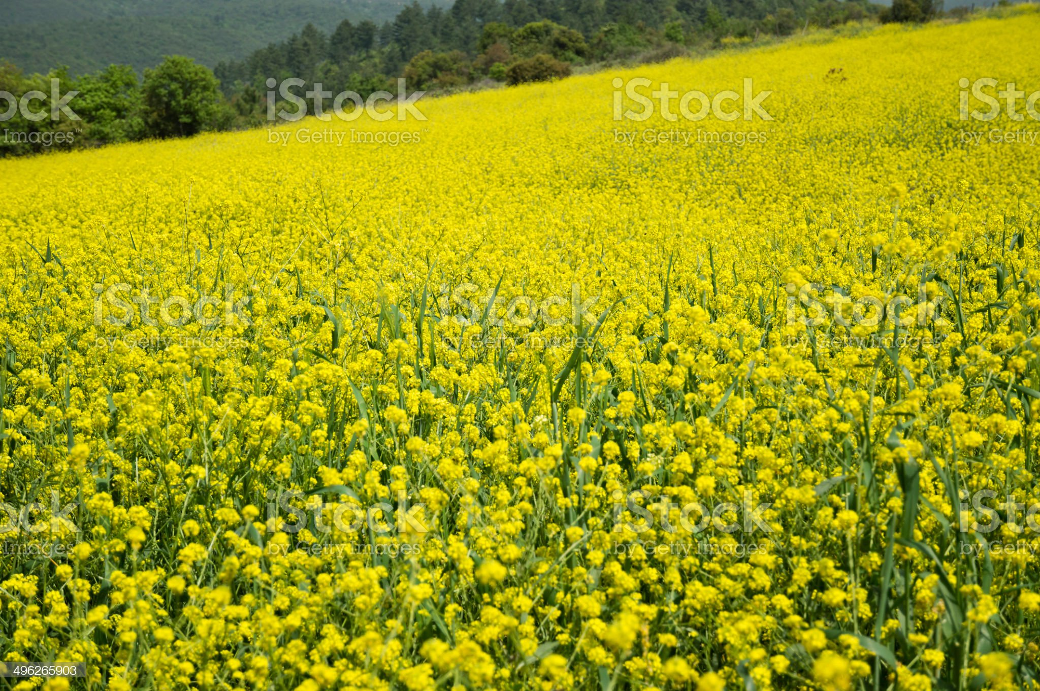 Yellow Field royalty-free stock photo