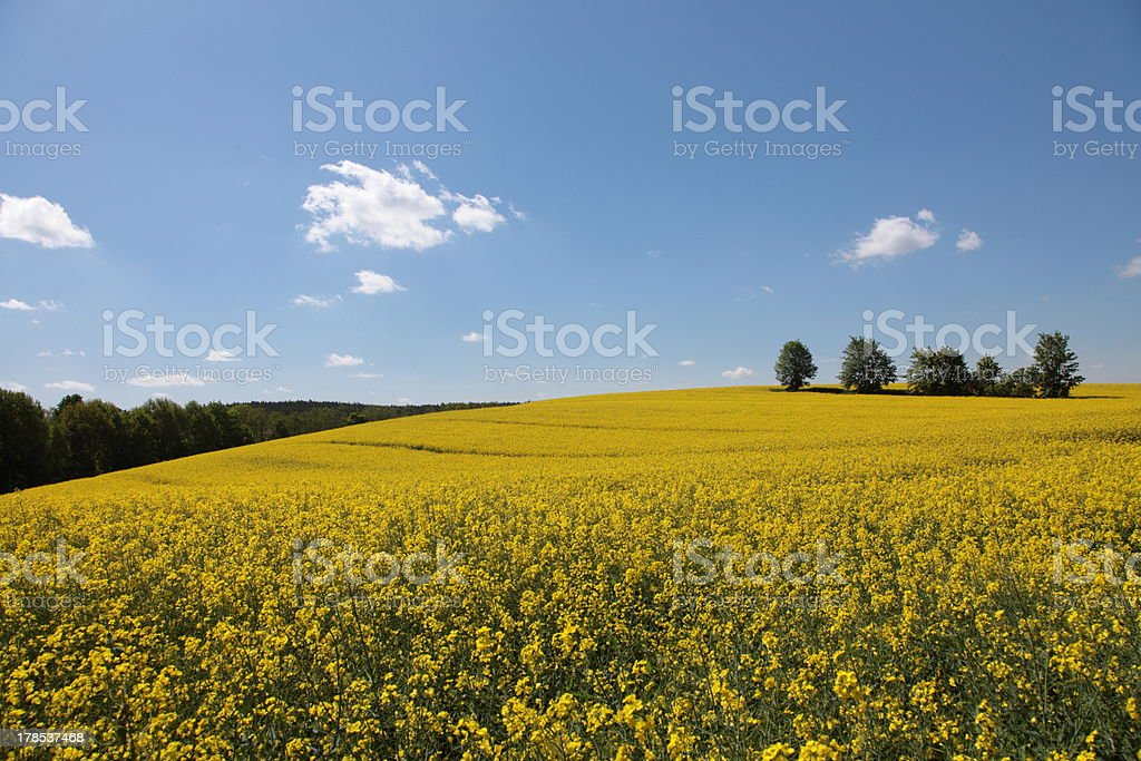 Yellow field rape in bloom with blue sky royalty-free stock photo