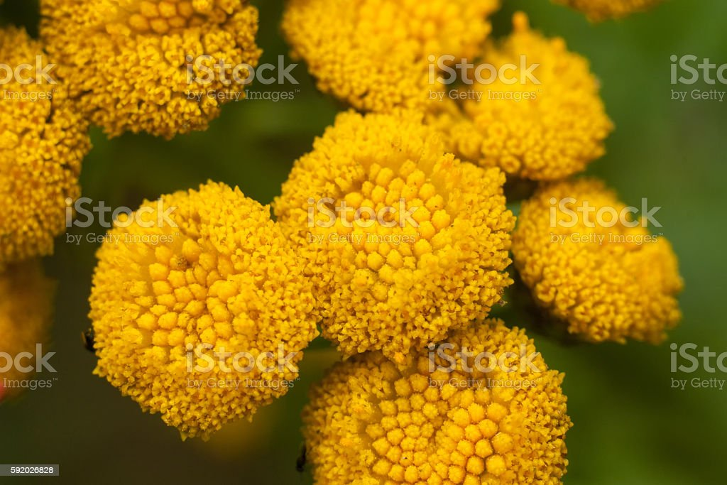 Yellow field Tansy stock photo