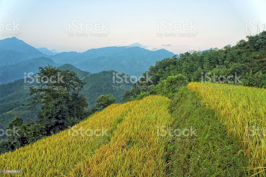Yellow field with Mountain stock photo