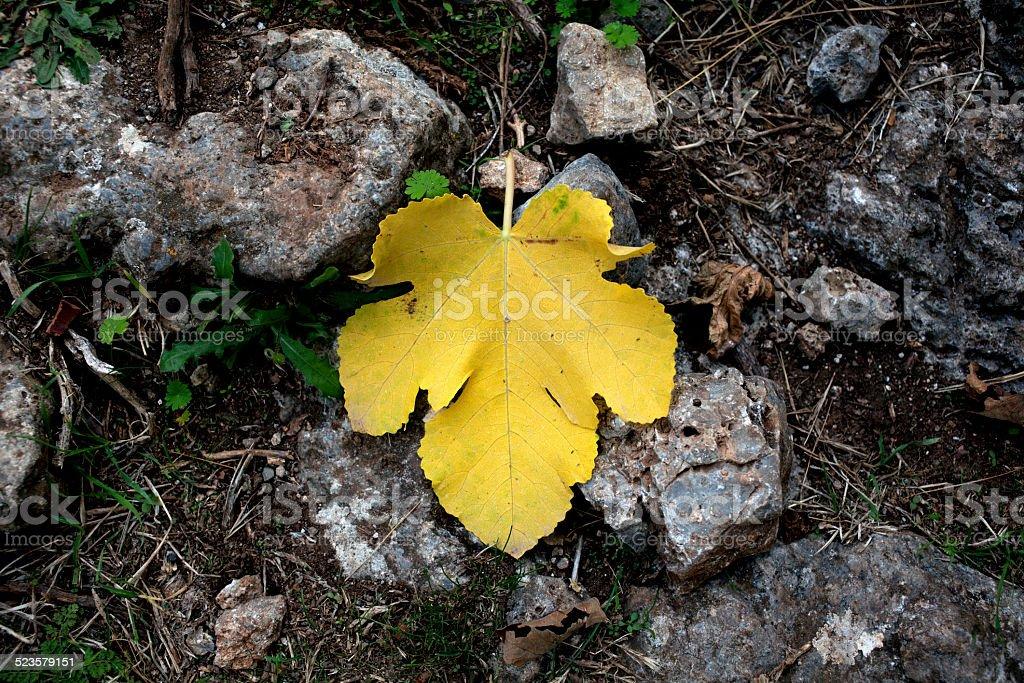 Gelbe Fig Leaf Lizenzfreies stock-foto