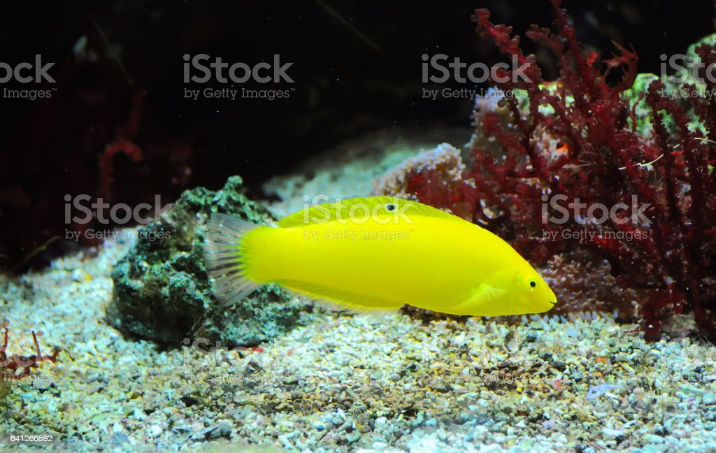 yellow fish floating on the bottom of the aquarium with an open mouth stock photo