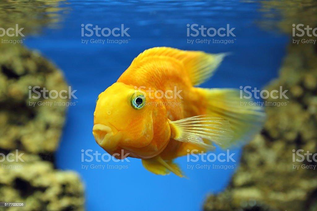 Yellow fish of Cichlasoma parrot stock photo