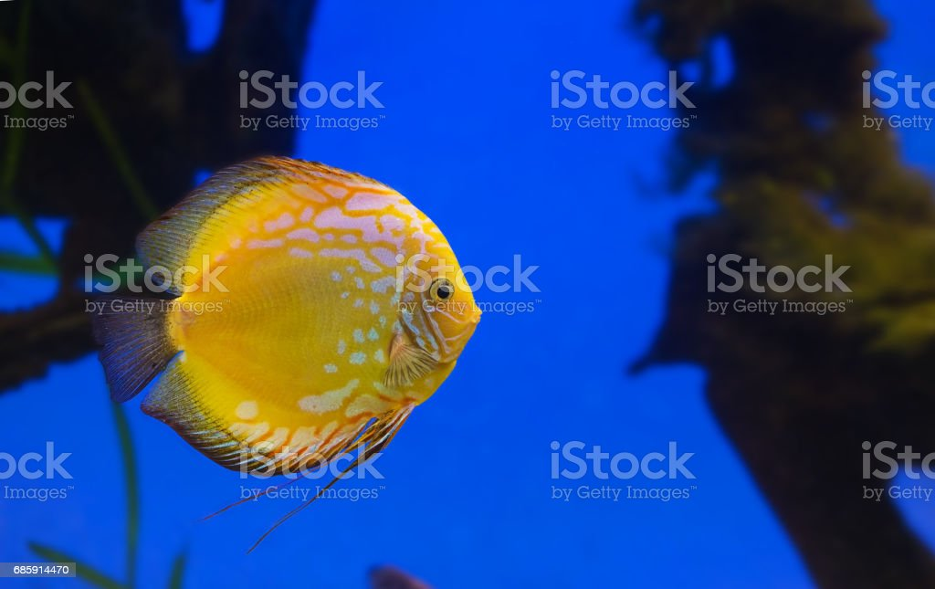 Yellow fish on a blue stock photo