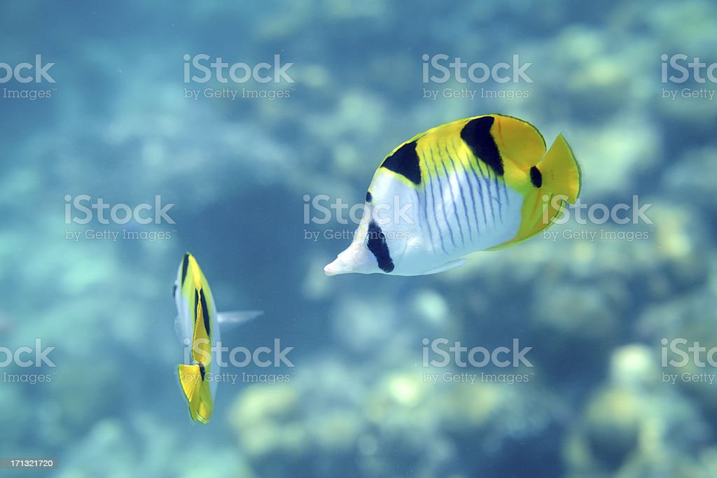 \'Yellow fish is swimming in Indian Ocean, Maldives\'