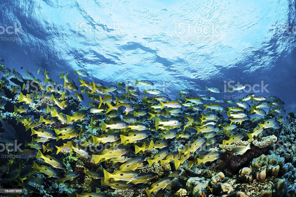 Yellow fishes royalty-free stock photo