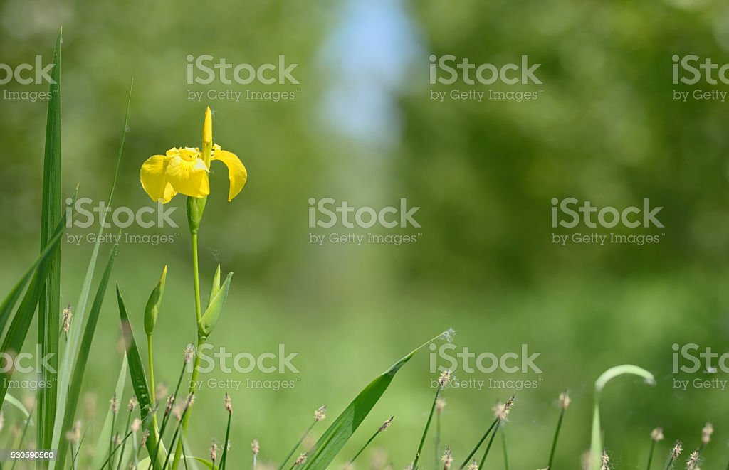 yellow flag blooming stock photo