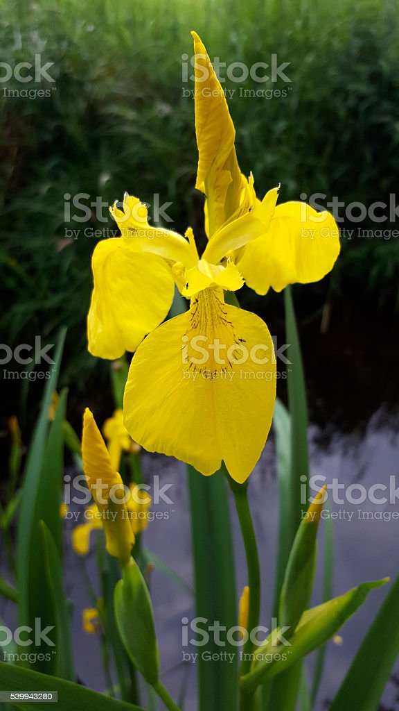 Yellow flag, flower and buds stock photo