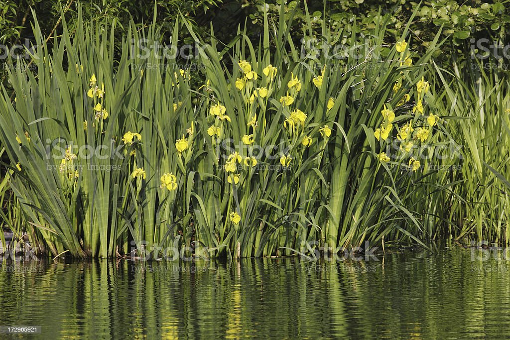 Yellow flag irises green leaves reflecting in water stock photo