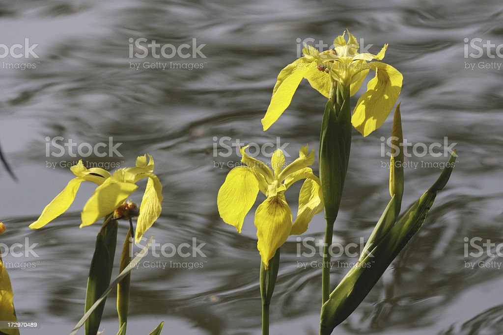 Yellow flag Iris pseudacorus and green leaves by waterside stock photo
