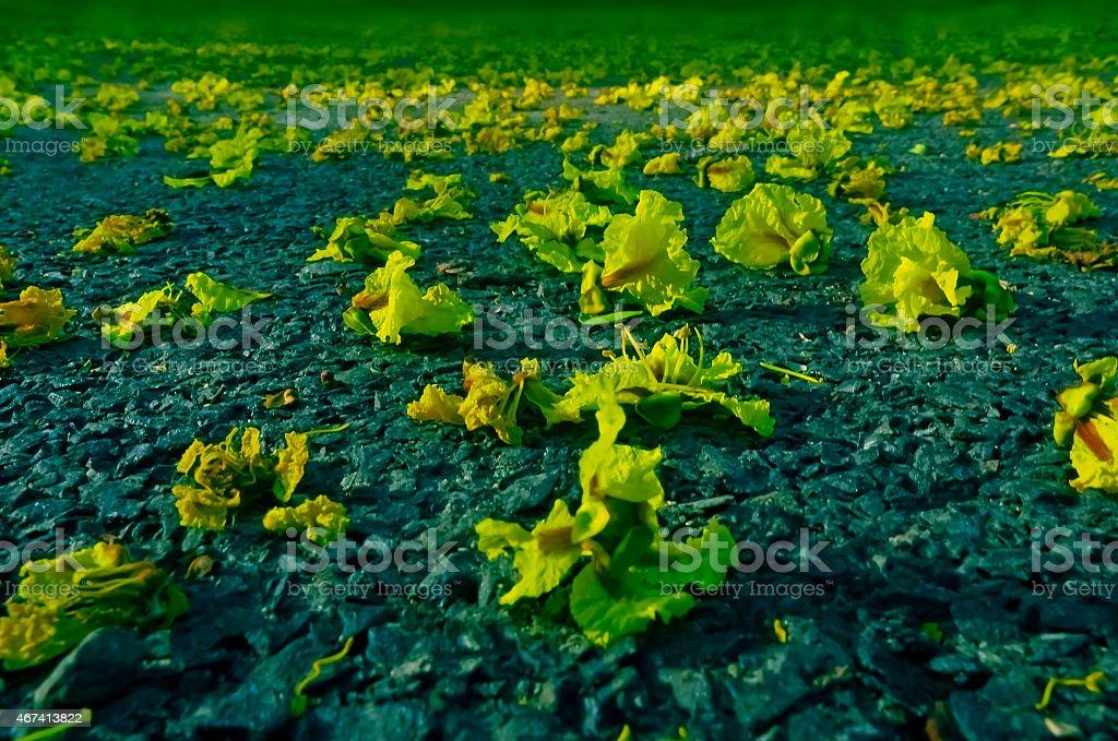 Yellow Flame flowers, Peltophorum pterocarpum stock photo