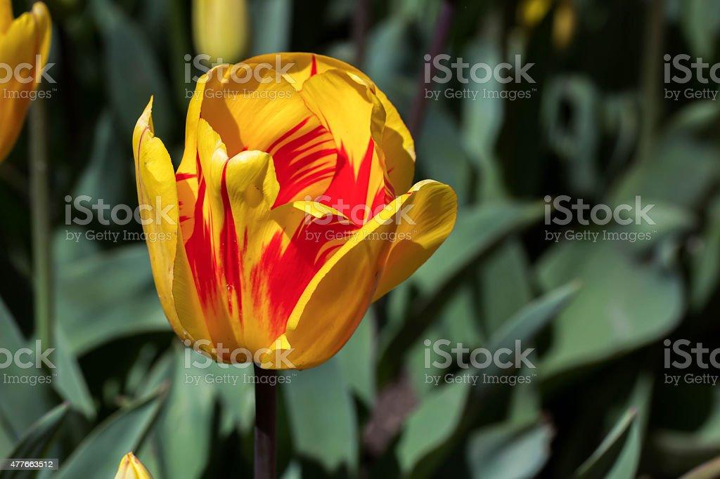 yellow flame tulip stock photo