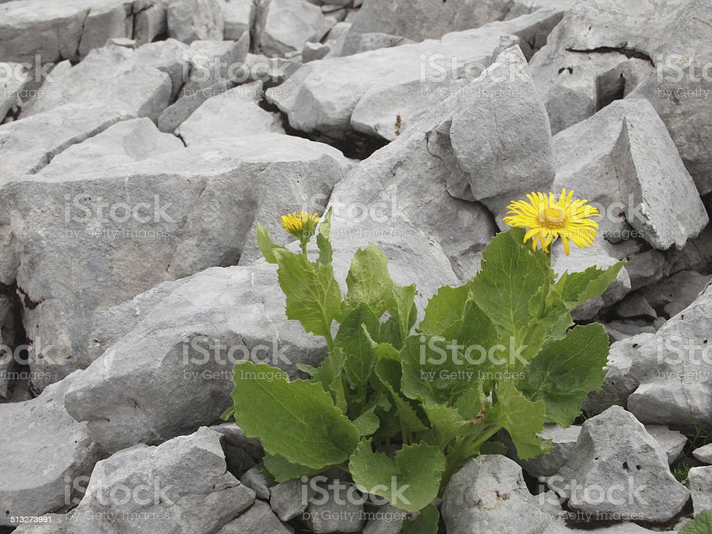 yellow flower amidst rocks stock photo
