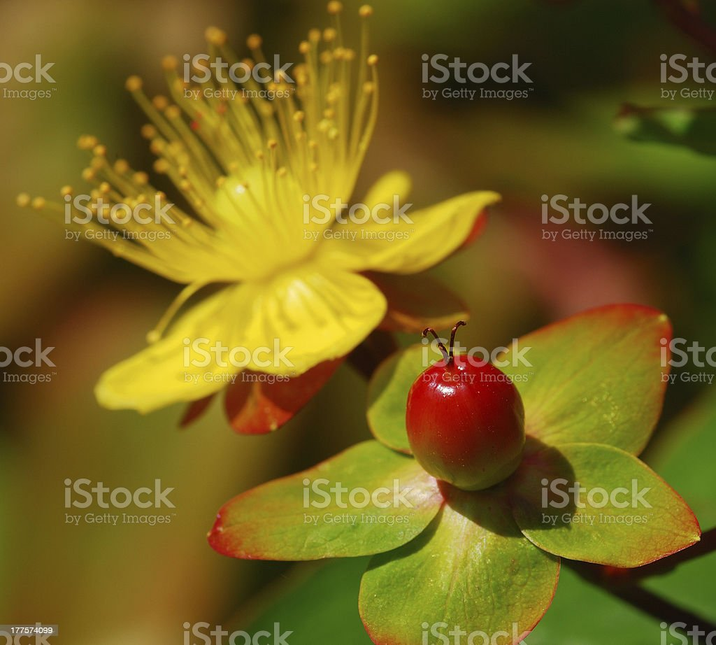 yellow flower and berry stock photo