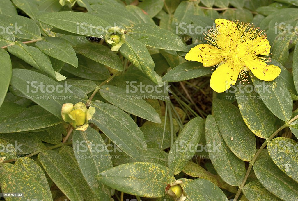 Yellow flower and buds stock photo