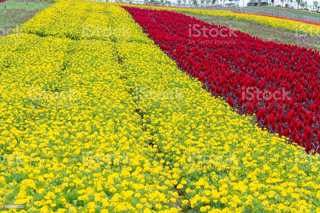 Yellow flower and scarlet flowers in field stock photo