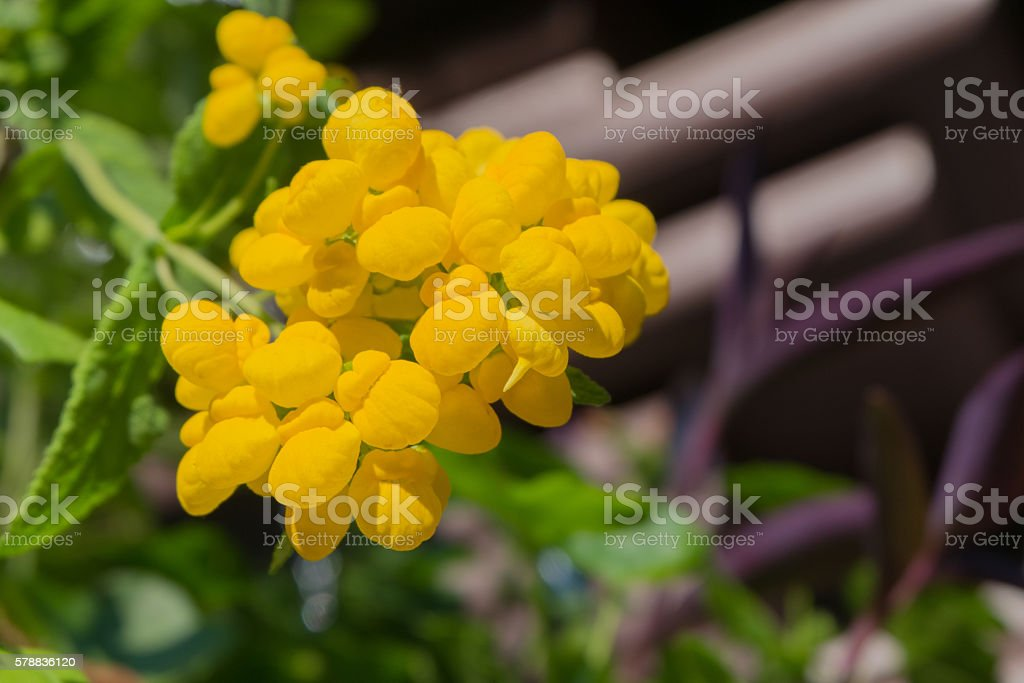 yellow flower Calceolaria Pocket Slipper flower stock photo