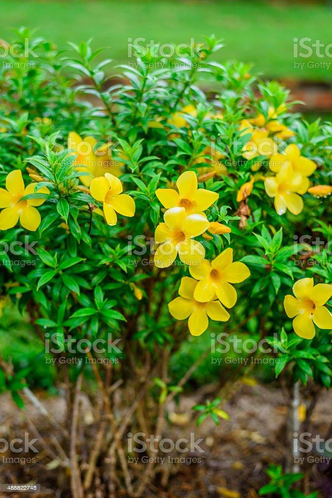 yellow flower cathartica stock photo