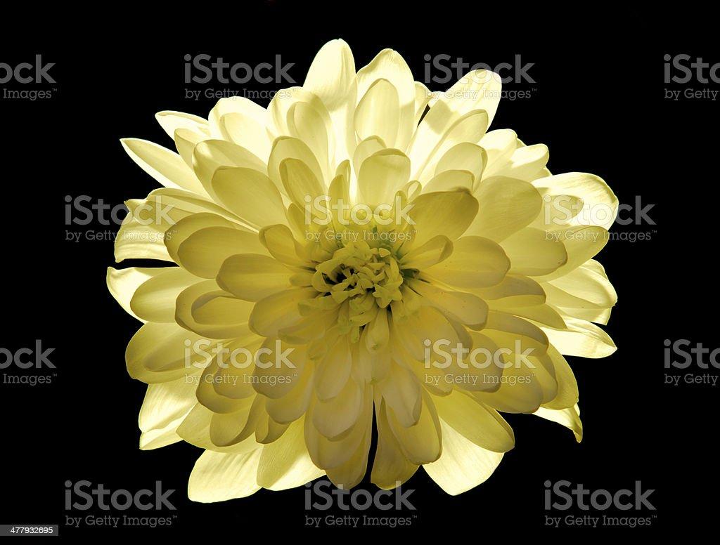 yellow flower Chrysanthemum isolated on black royalty-free stock photo
