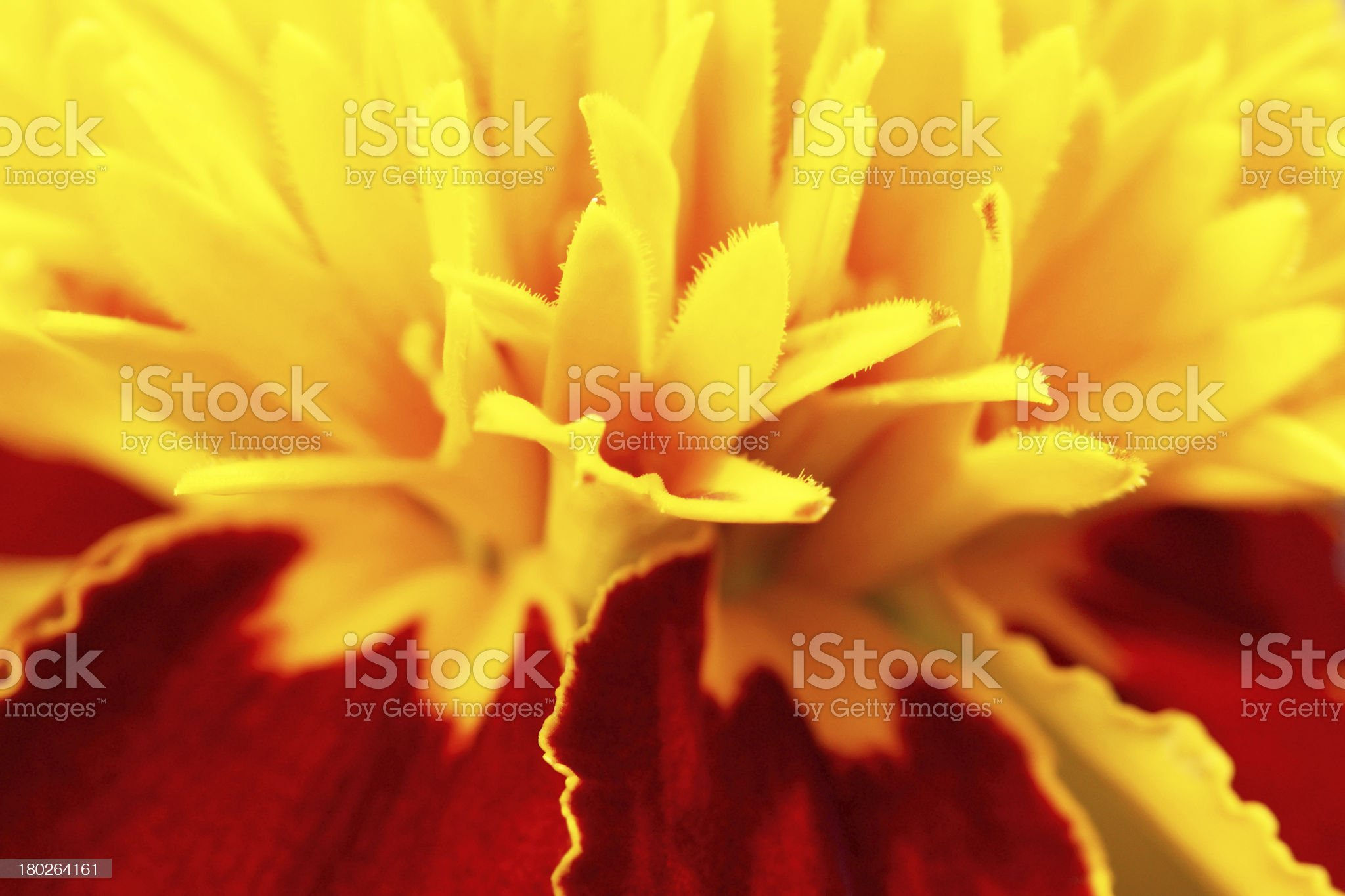 Yellow flower close up royalty-free stock photo