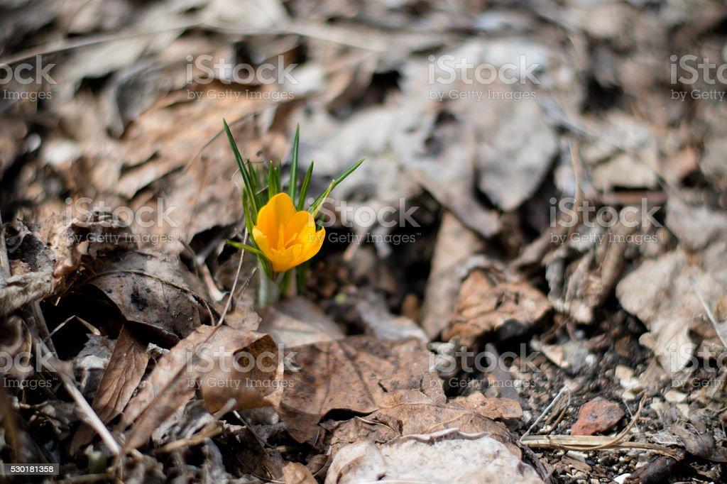 yellow flower crocus stock photo