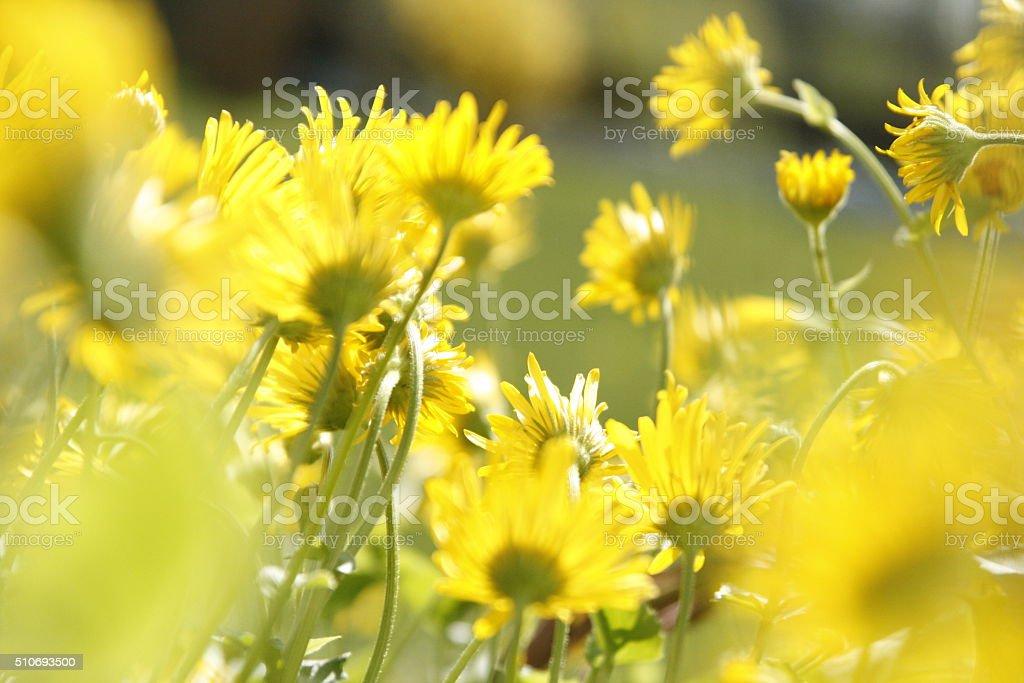 Yellow Flower Field stock photo