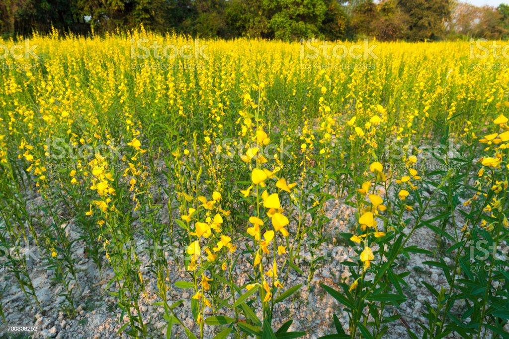 yellow flower field, Thailand stock photo