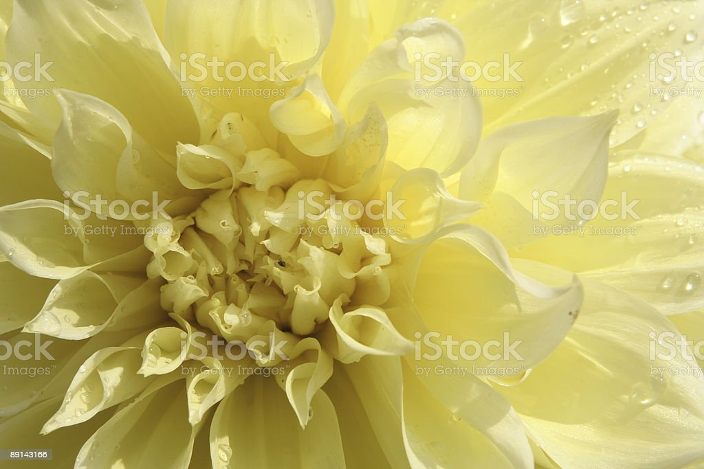 yellow flower from dewdrops royalty-free stock photo