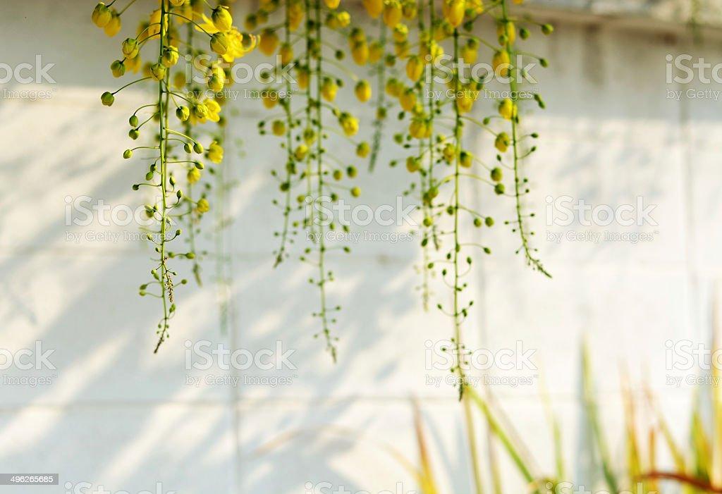 yellow flower, Golden Shower Tree stock photo