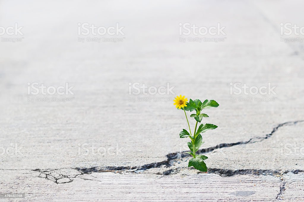 yellow flower growing on crack street, soft focus, blank text stock photo