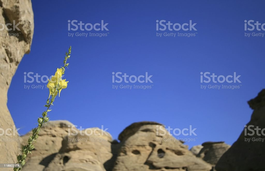 Yellow Flower in Badlands royalty-free stock photo