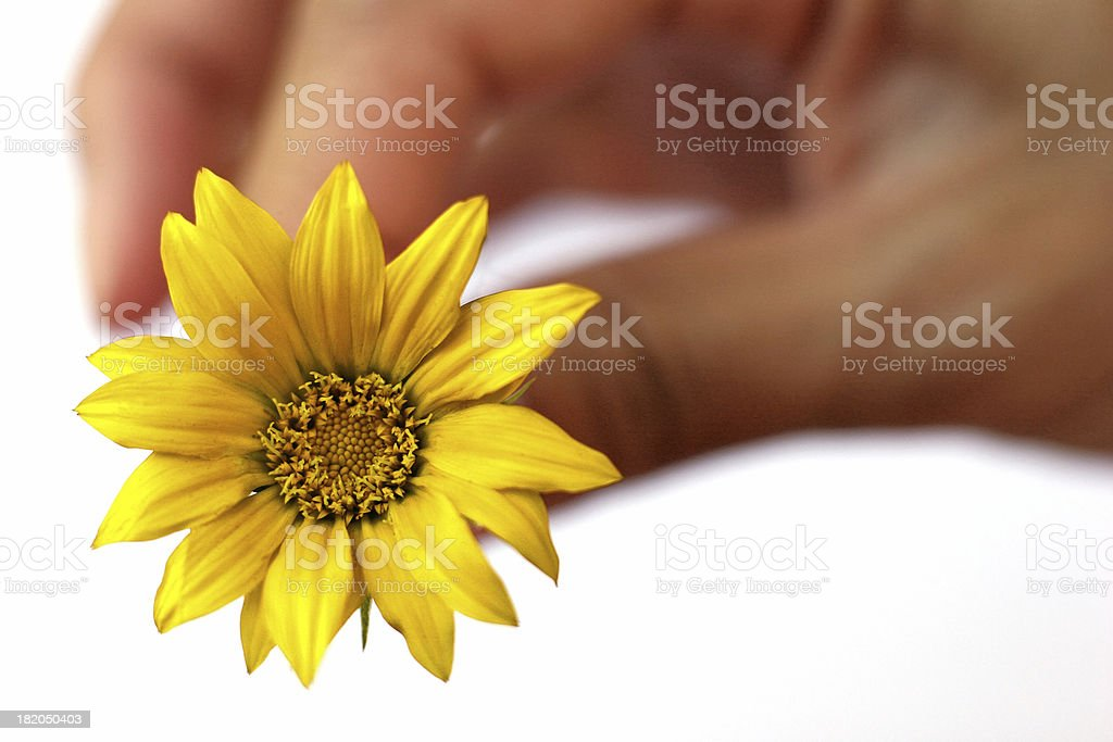 yellow flower in hand royalty-free stock photo