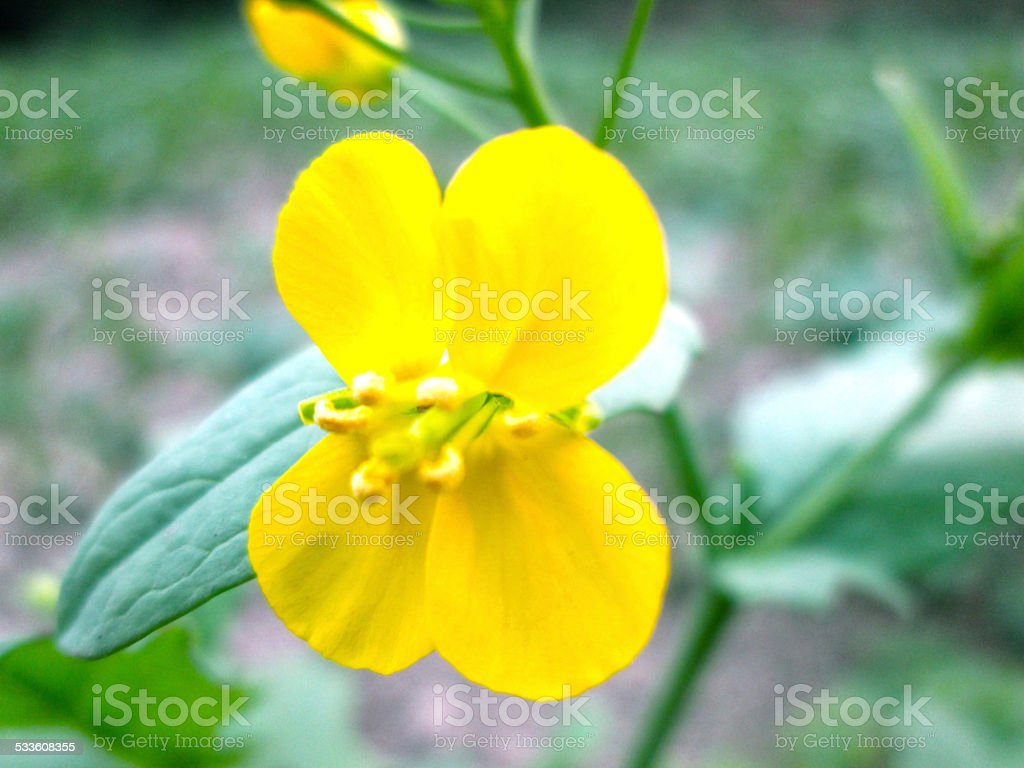 Yellow Flower isolate green leaf background stock photo