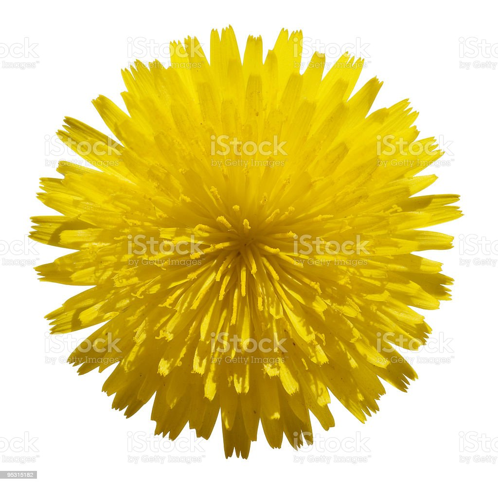 Yellow flower isolated on white royalty-free stock photo