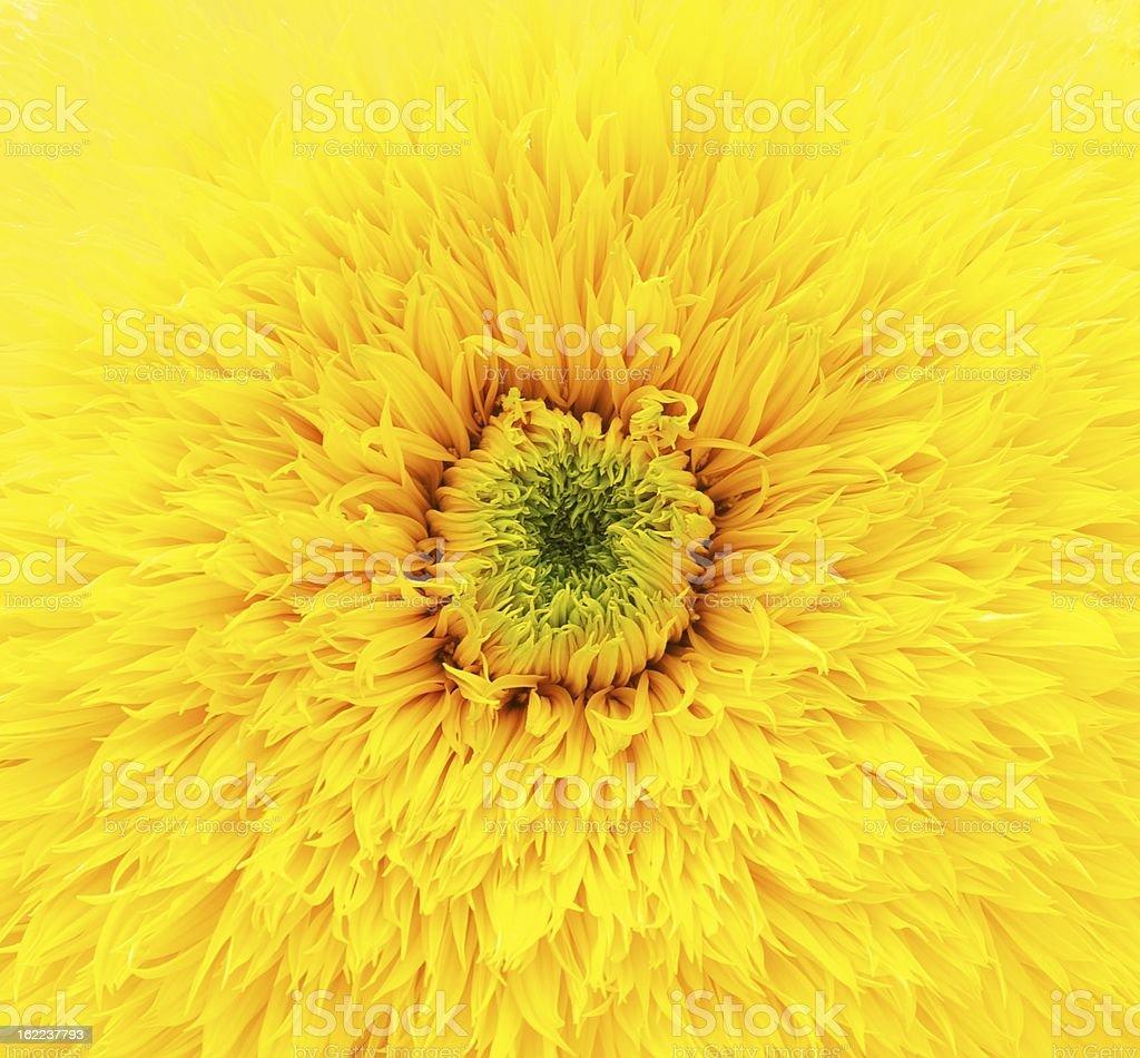 노란색 아이리스입니다 접사를 royalty-free 스톡 사진