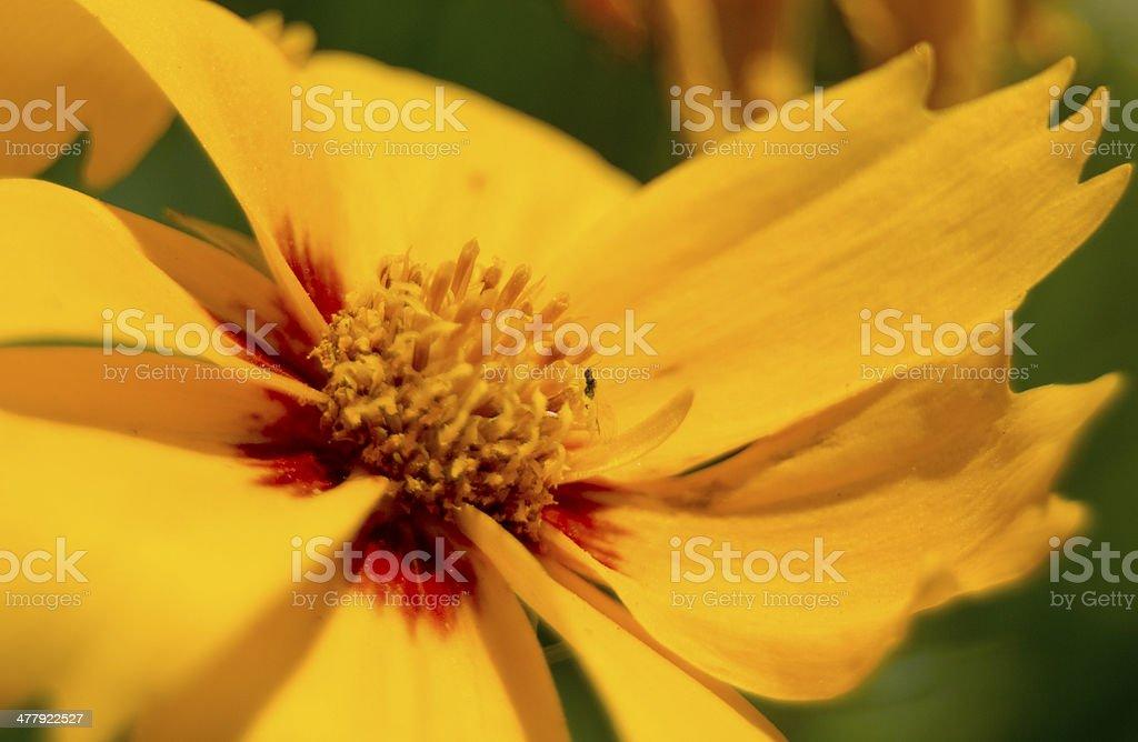 Yellow Flower Macro royalty-free stock photo