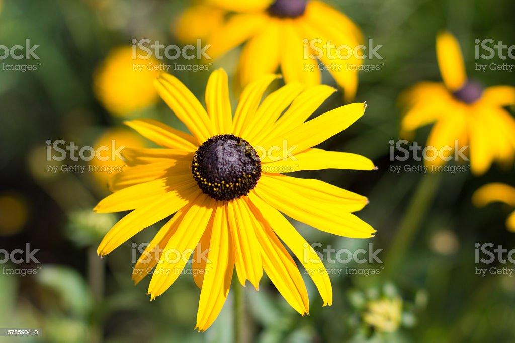 yellow flower macro - rudbeckia, black eyed  susan stock photo