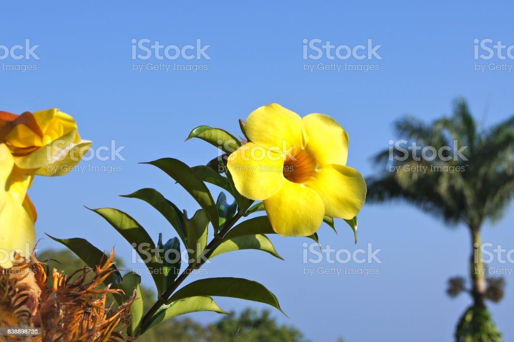 Yellow Flower Maui stock photo