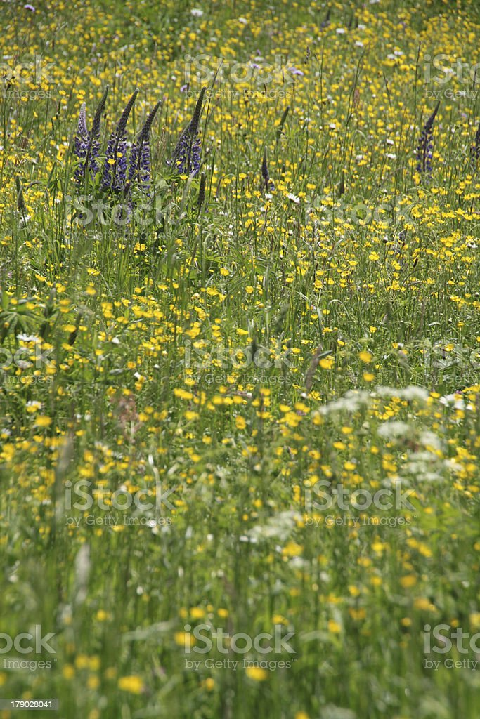 Yellow flower meadow royalty-free stock photo
