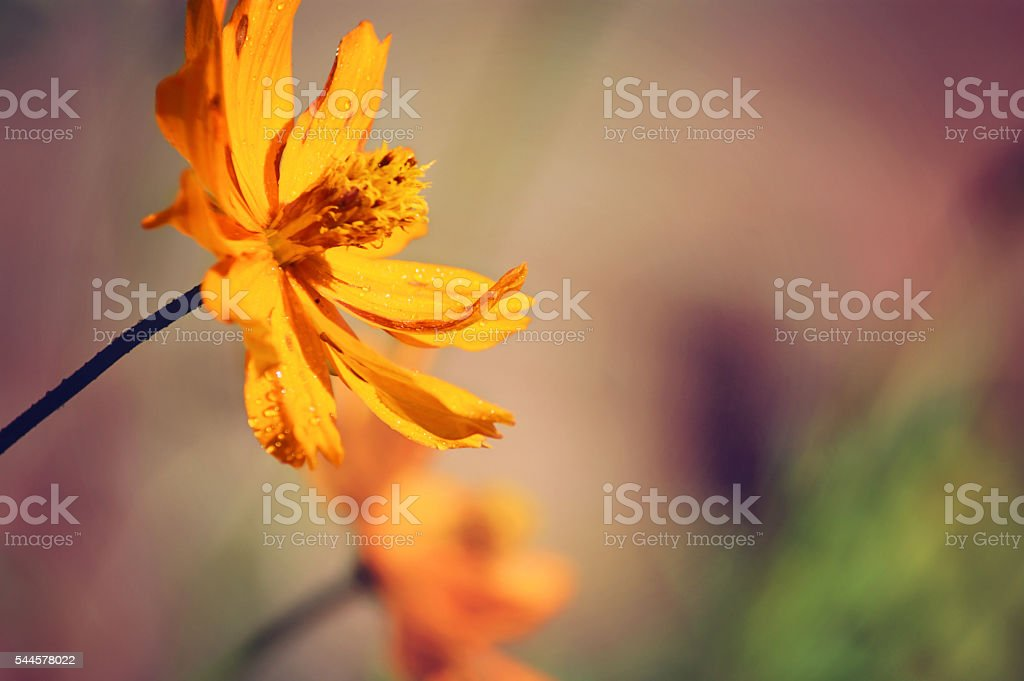 yellow flower of coreopsis stock photo