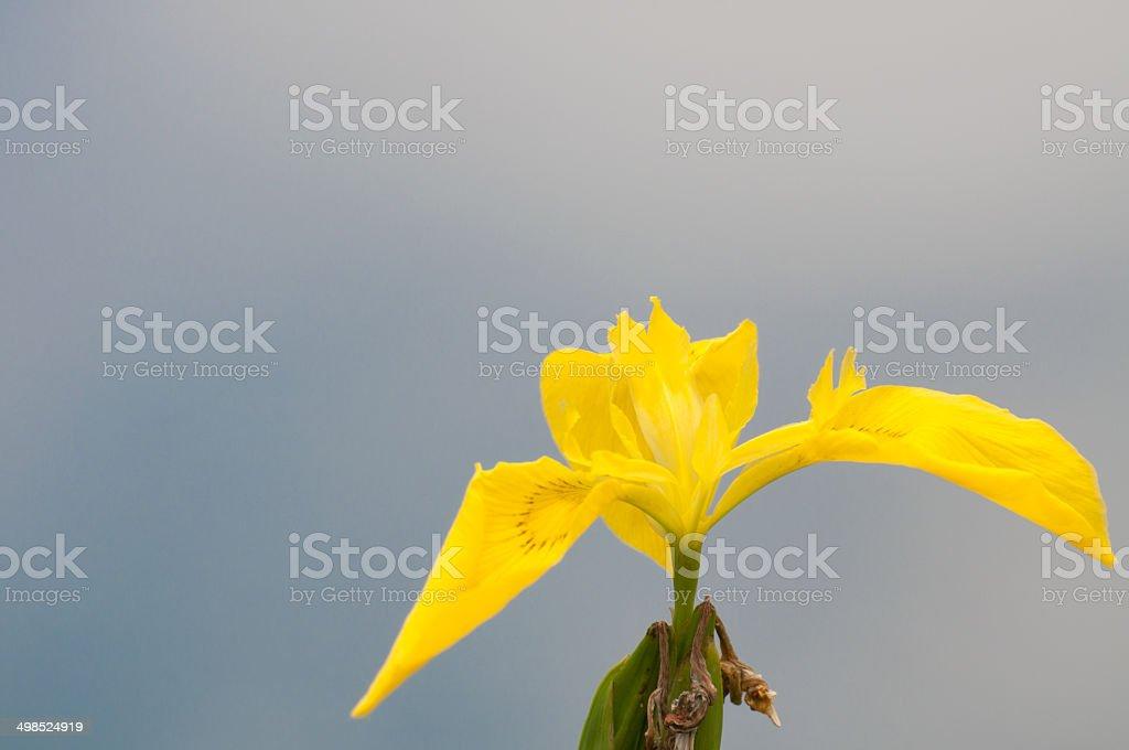 Yellow flower of iris stock photo