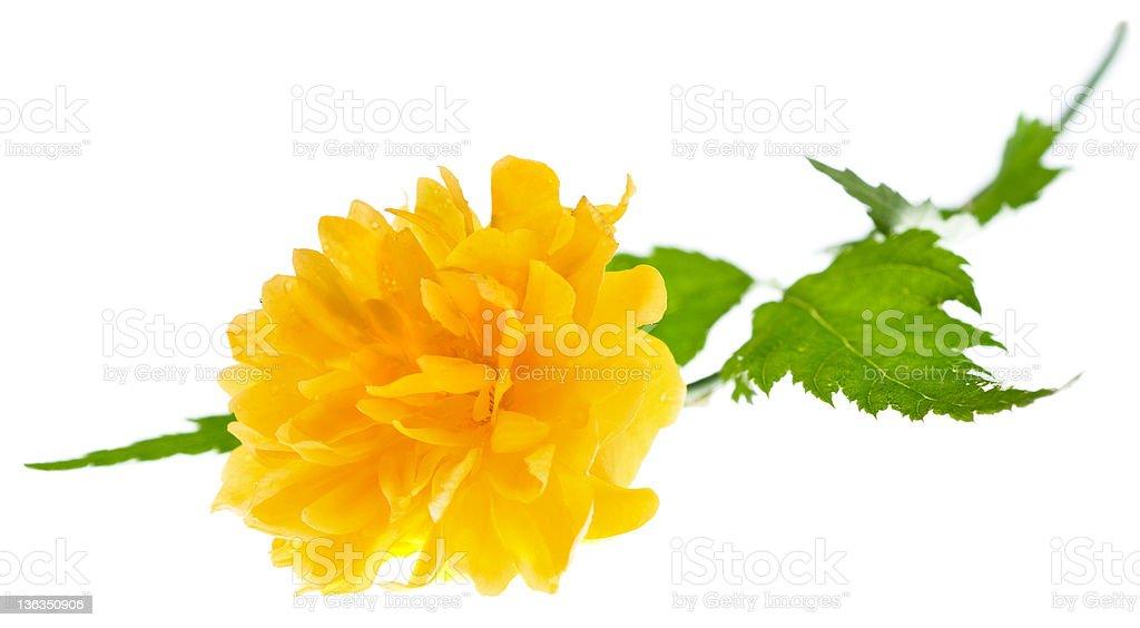 Yellow flower of Japanese kerria royalty-free stock photo